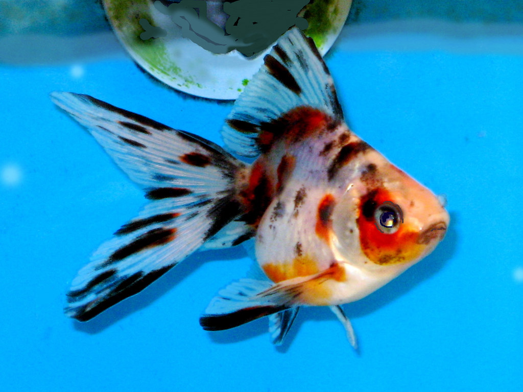 The world 39 s newest photos of goldfish and spotted flickr for Fish and pets unlimited