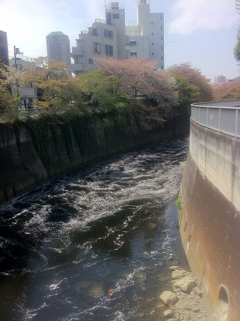 Kanta river lined with cherry blossom trees