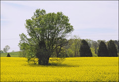 (Cliff Michaels) Tags: flowers blue trees sky green yellow rural photoshop landscape nikon tennessee country rustic april canola blountcounty d5000 pse9