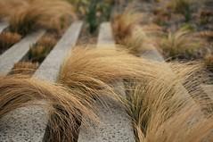 High Line Tufts (HorsePunchKid) Tags: thehighline taxonomy:binomial=nassellatenuissima taxonomy:claderoot=plantae clade:plantae=magnoliophyta clade:magnoliophyta=liliopsida clade:liliopsida=poales clade:poales=poaceae clade:poaceae=nassella clade:nassella=tenuissima taxonomy:kingdom=plantae taxonomy:phylum=magnoliophyta taxonomy:order=poales taxonomy:family=poaceae taxonomy:genus=nassella taxonomy:eolid=1115646 taxonomy:common=mexicanfeathergrass poales nassella nassellatenuissima poaceae fhl30
