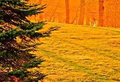 Morning Light ~ HSS (mt2ri) Tags: morning light orange tree green grass sunrise warm lawn spruce hss saturatedsaturday mt2ri