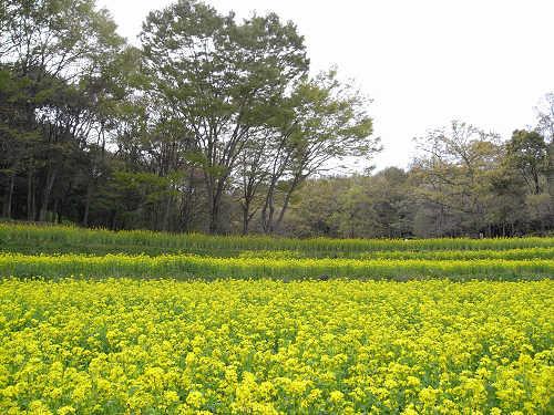 春の花々@明日香村-05
