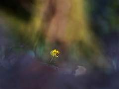 yellow and alone (zioquattroterzi) Tags: flowers macro bokeh triste wildflowers fiori sola luce underwood sottobosco fiorispontanei