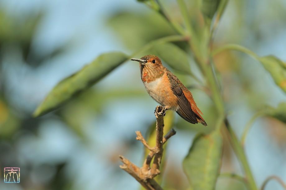 Allen's Hummingbird 042011-2