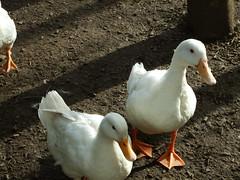 Ducks at Valley International Park (Elizmar) Tags: birds scotland ducks lanarkshire carluke clydevalley crossford valleyinternationalpark