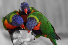 feeding the lorikeets (John Hardison, The Old Snake Wrangler) Tags: sensational lorikeets top20greenish
