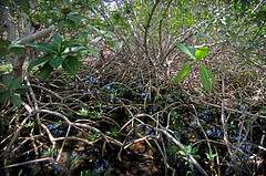 Topiary Labryinth. (Le' Louie) Tags: life bridge wild black west reflection tree green colors forest canon keys key florida powershot system mangrove waters limbs mangroves eco labyrinth tidal ecosystem brackish