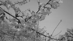 Cherry Blossoms along side of the Tidal Basin in Washington, D.C. (RYANISLAND) Tags: trees lake tree water japan japanese washingtondc dc washington spring pond districtofcolumbia lakes basin ponds tidal tidalbasin sakuramatsuri cherryblossomfestival manmadelake thenationalcherryblossomfestival