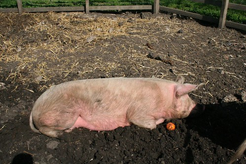 Obligatory Pig