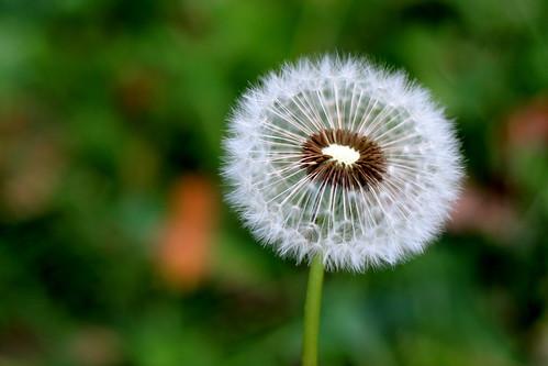 Tuesday: Dandelion Clock