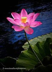 Lotus Flower # 71 (Amazing Tan Photos) Tags: flowers meditation  macrophotography   flordelotus lotusflowers flowerphotography fiorediloto hoasen   lotosblume bungateratai lotusflowerpictures   kwiatlotosu lotusflowerimages lotusblomst lotusflowerphotos fleurdeloto flordeloto lotusbloem lootuskukat lotosovkvty lotusblommorlotusblomster buddhistsymbol
