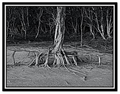 Root of all evil (wounded-bull (Steve)) Tags: lake tree roots hdr triffid 3xp poorrarecup