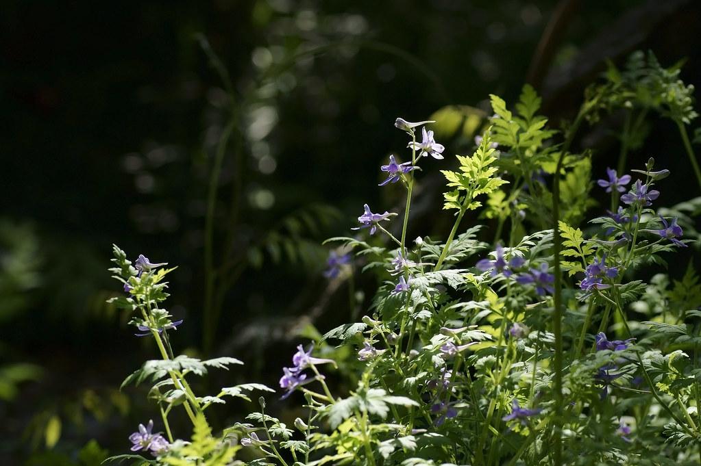 Delphinium anthriscifolium 31