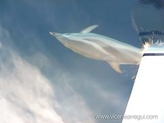 Delfines durante la regata Ophiusa