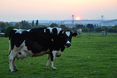 vache-pont-tancarville (stephanelhote) Tags: sunset france pont normandie couchersoleil tancarville