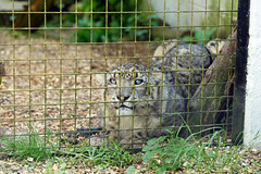 I00G9843 (Jahled71) Tags: charity animal cat canon asian eos asia wildlife conservation collection breeding endangered captive snowleopard captivity carnivore zoology panthera zoological terrymoore uncia catsurvivaltrust