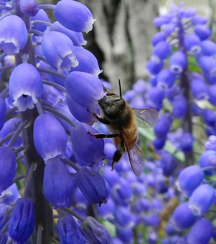 bee and grape hyacinth