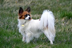 Cody in a field (Pappup2010) Tags: dog pet white cute animal butterfly puppy toy small sable canine papillon pup breed pap toybreed butterflydog whiteandsable