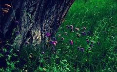 Purple Flowers - Explored! (@mons.always) Tags: flowers flora nikon greenery leh ladakh d90