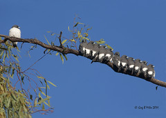The Nonconformist (Greg Miles) Tags: australia queensland artamusleucorynchus whitebreastedwoodswallow thargomindah kilcowera