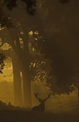 rd 14 (Richard Bowler) Tags: morning autumn mist male nature animal animals sunrise golden fight stag wildlife naturalhistory deer antlers breeding breed naturalworld atmospheric reddeer antler silohette rut mamal rutting cervuselaphus dawm