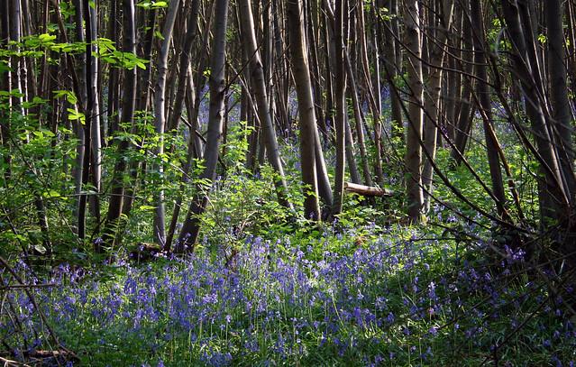 Bluebells at Shorne, Kent