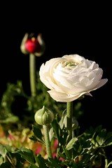 White with Red (haberlea) Tags: red white black flower green nature garden petals spring ranunculus mygarden onblack