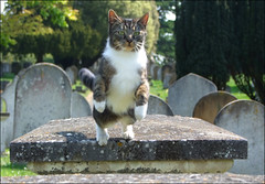 the cemetery cat (Simon_K) Tags: graveyard cat feline pussy graves whiskers churchyard churchcat catleaping