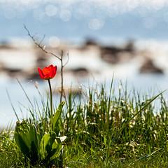 Red tulip (Hkan Dahlstrm) Tags: red sea skne sweden tulip f56 skane viken 2011 ef200mmf28lusm canoneos5dmarkii sek