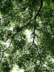 PhoTones Works #328 (TAKUMA KIMURA) Tags: plants green leaves maple natural cloudy reverse   nokton   kimura   takuma     epl2 photones