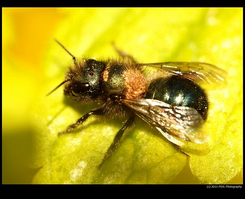 Possible Mason Bee (Osmia spp.) infected with mites