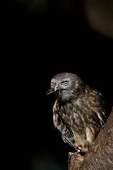 20110429-IMG_3499.jpg (djangobrownie) Tags: bird animal owl kakadu barkingowl