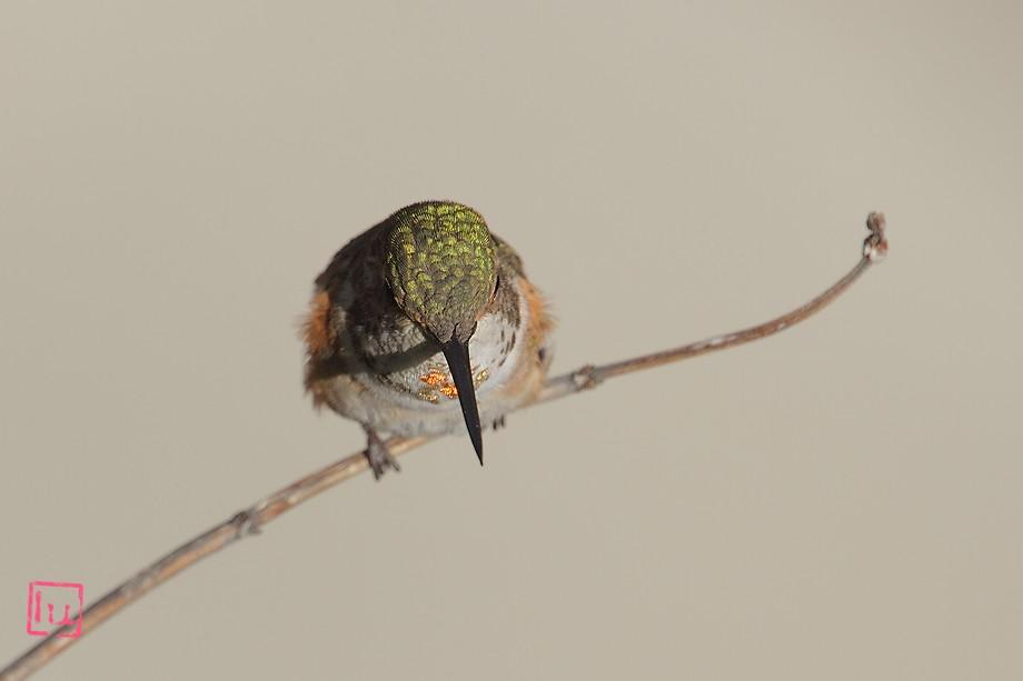 Allen's Hummingbird 050211-2