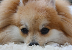 That face (a lonewolf) Tags: bear orange dog cute hair puppy fur pom eyes adorable sable canine whiskers sleepy tanuki rug pomeranian bearrug