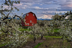 Scrambling (Lance Rudge) Tags: sunset nature oregon landscapes mthood bloom redbarn hoodriver appletrees lancerudge