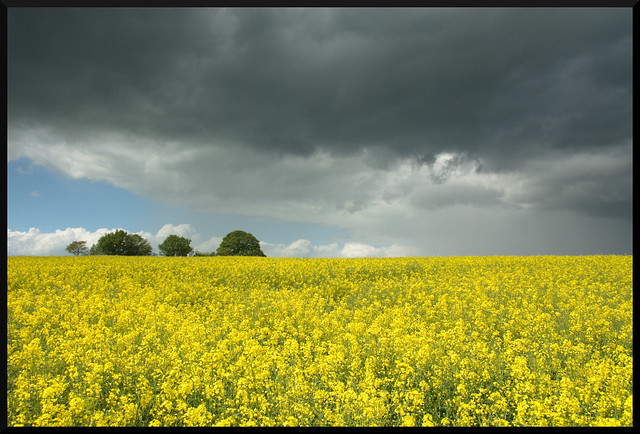 Oil Seed Rape and Sky