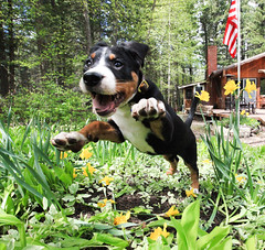 Excited for Spring! [Explored!] (GrizzlysGhost) Tags: dog garden puppy fly spring jump action flag americanflag 4thofjuly pounce starsandstripes swissy independanceday trample greaterswissmountaindog swissie trampel cesarmillanphotocontest