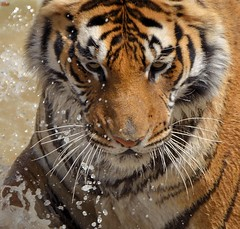 Splash (wellscenephotography (ON)) Tags: nikon wildlife tiger flickraward d5100 flickrawardgallery