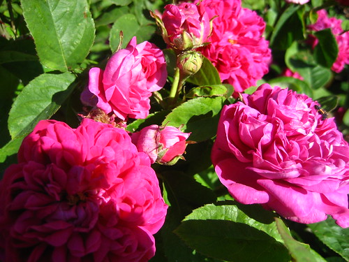 Roses at Kew