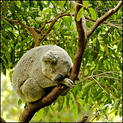 Sleepyhead (Richard Beech (rdb75)) Tags: travel nature canon rainforest wildlife australia koala sleepyhead marsupial animalplanet kuranda 2010 richardbeech rdb75