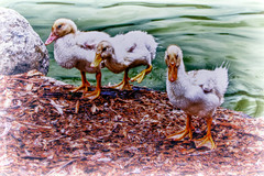 Cute Little Chickens by hbmike2000