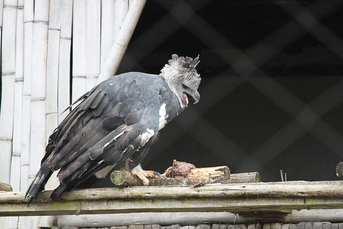 Harpy eagle, harping