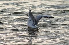 Una picofino comiendo. (Luis Costa G.) Tags: espaa birds seagull salinas murcia marmenor gaviotas sanpedrodelpinatar costacalida