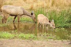 Sambar - Bandhavgarh, India (Ami 211) Tags: india deer sambar bandhavgarh cervus cervusunicolor