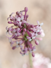 Asperula pubescens (macropoulos) Tags: topf25 wildflower endemic rubiaceae pubescens asperula canoneos5d canonspeedlite430ex gentianales 30faves30comments300views canonmpe65mmf2815xmacro