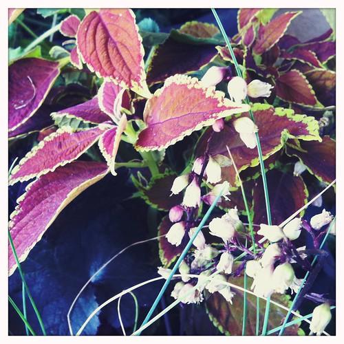 "coleus & heuchera""harvest burgundy"" coral bells"