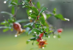 bokeh in my garden (l) (DenisseBeirana | f o t o g r a f i a) Tags: sardegna flores flower tree primavera arbol lluvia bokeh raining