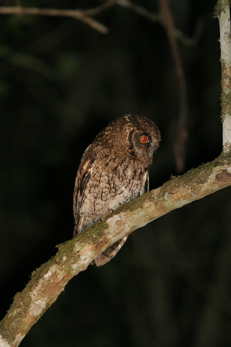 Variable Screech-owl - Megascops atricapillus, Itatiaia National Park, Brazil, 2006_09_11_048.jpg