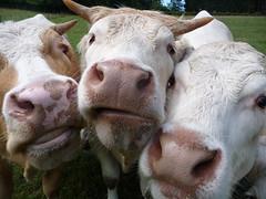 cowgirls (twinkle-eye) Tags: cow estremità