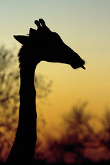 Giraffe at Sunrise_8493 (susan yeomans) Tags: africa mammal wildlife safari v giraffe mygearandme mygearandmepremium mygearandmebronze mygearandmesilver mygearandmegold mygearandmeplatinum ringexcellence dblringexcellence tplringexcellence galleryoffantasticshots flickrstruereflection1 flickrstruereflection2 aboveandbeyondlevel3